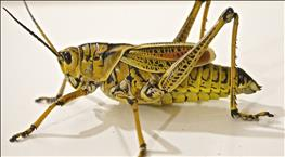 ALERT: BROWN LOCUST (LOCUSTANA PARDALINA) OUTBREAK IN SOUTH AFRICA