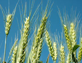 Kommersiële produksie vir koring is 6,7% minder as vorige skatting