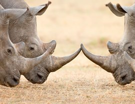 Rhino horns intercepted on OR Tambo